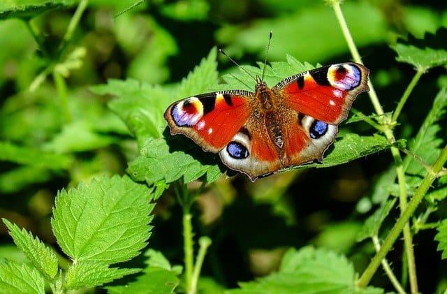 Бабочка-Афанасий Фет
