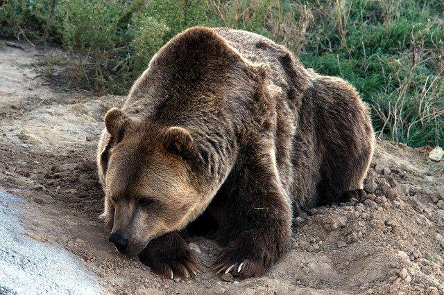 Кратко про медведей