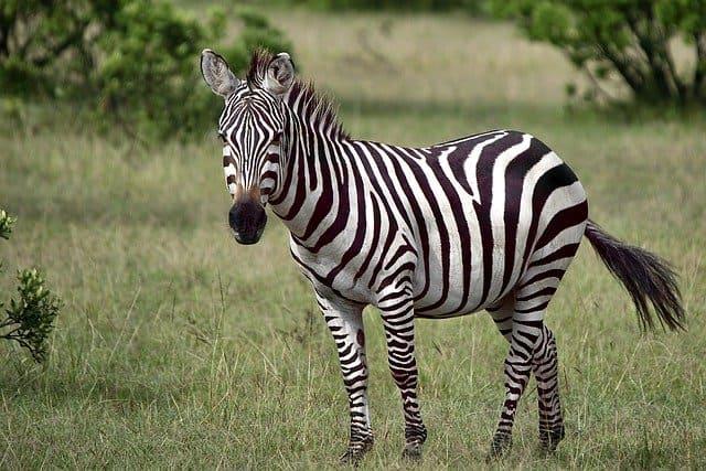 Зебры кратко