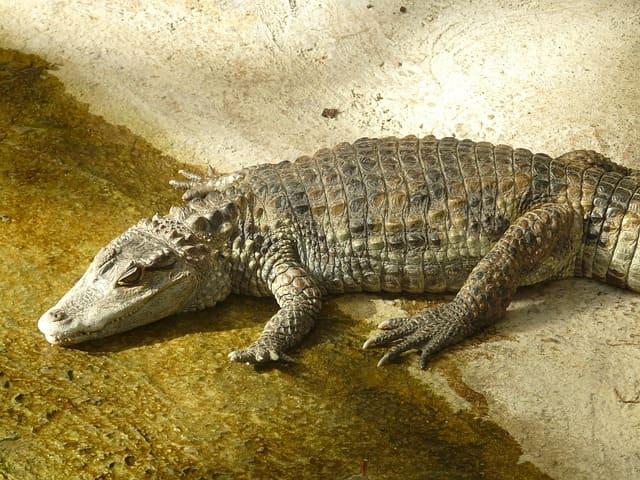 Крокодилы аллигаторы и кайманы