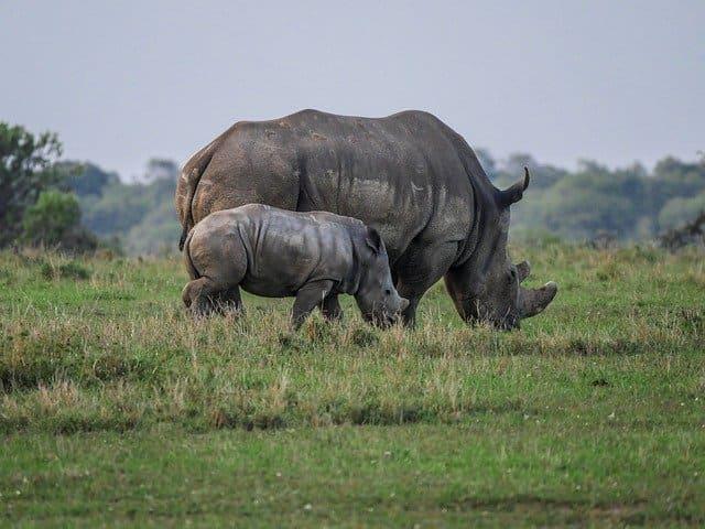 Носороги кратко