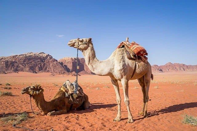 Факты про верблюдов