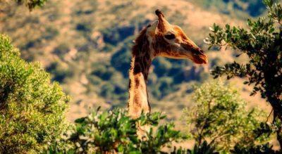 Животное жираф кратко